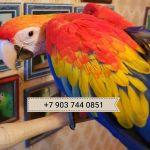 Красный ара (ara macao) - абсолютно ручные птенцы из питомников Европы