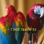 Попугаи -  ручные птенцы   4 мес. из питомников Европы