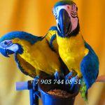 Сине желтый ара - абсолютно ручные птенцы из питомников Европы
